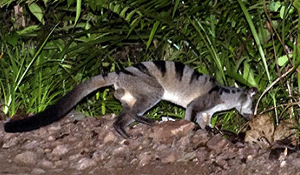 Malay Civet - Viverra tangalunga