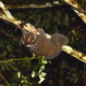 Slow Loris - Nycticebus coucang